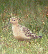 Buff-breasted Sandpiper, September 2003